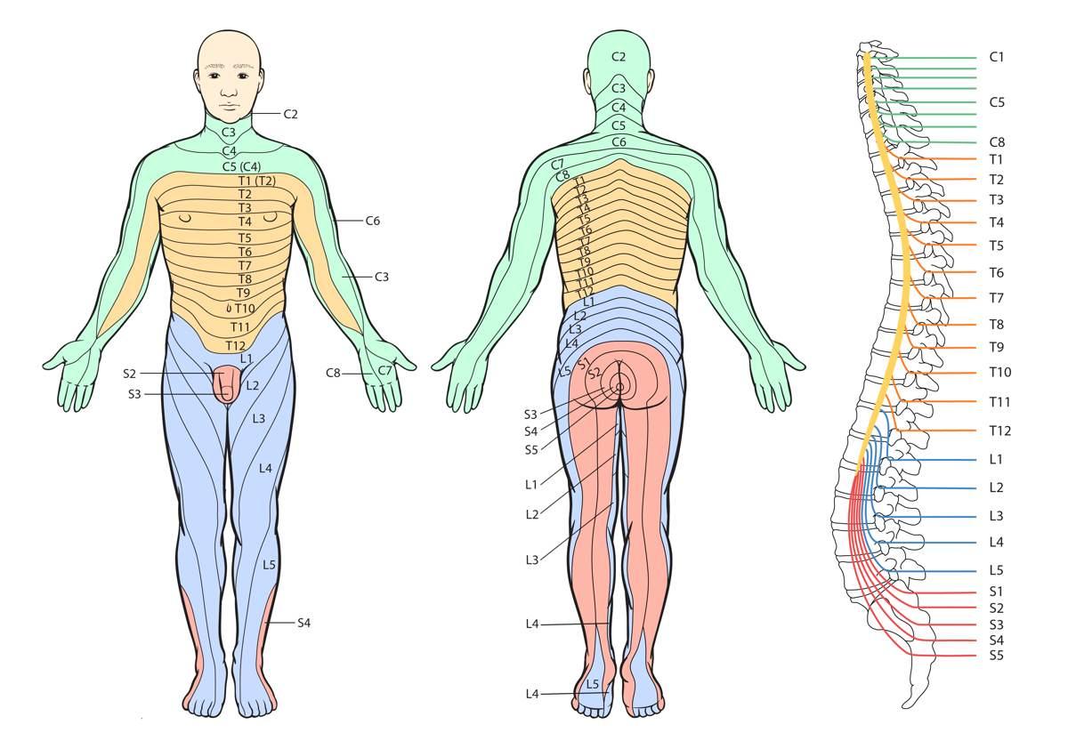 Sensory Dermatomes Of The Body - Stepwards