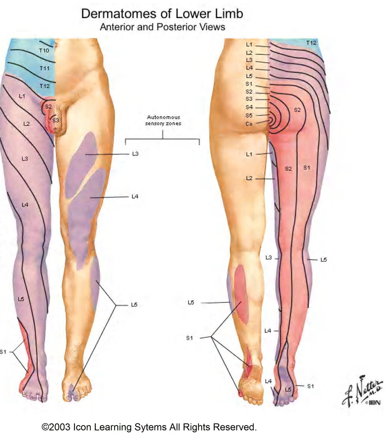 Starting at L1, we can appreciate that the spinal nerves progress down the front of the leg, and then back up the back of the leg to the saddle region (source).