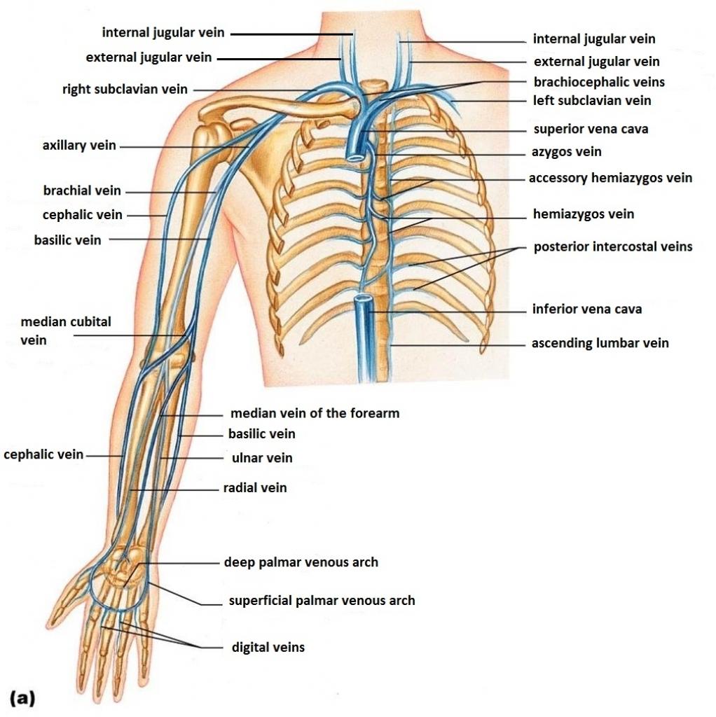 iv vein diagram brachial vein diagram basilic vein - stepwards